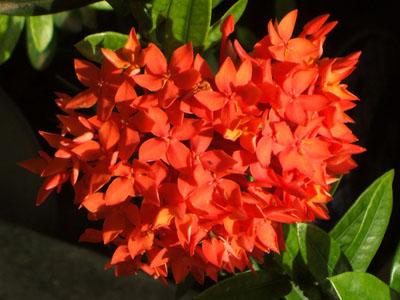 ไหว้ครู, ดอกไม้ไหว้ครู, ความหมายของดอกไม้ไหว้ครู, ธรรมชาติ, วันครู